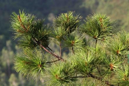 Pinus dalatensis Quang Nam, 600 m asl