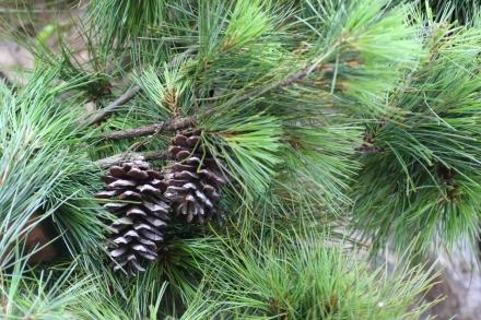 Pinus dalatensis cone  Quang Nam, 600 m asl