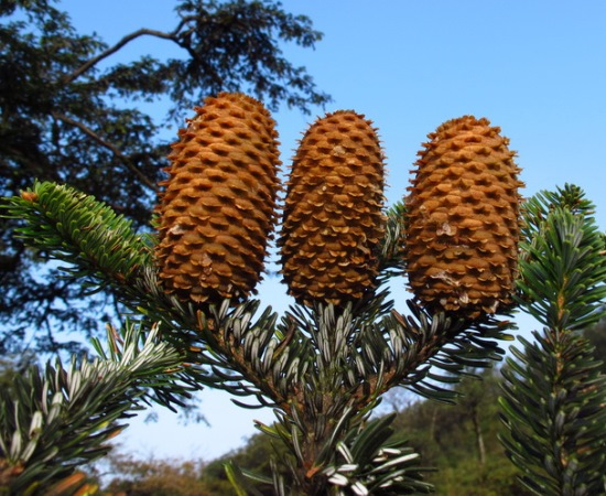 Abies Yuanbaoshanensis Threatened Conifers Of The World