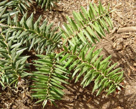 Juvenile foliage