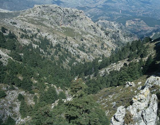 <em>A. pinsapo</em> var <em>pinsapo</em>, Spain