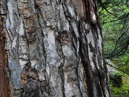 Old tree (Sangdui to Xiangchang)