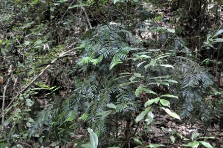 Amentotaxus foliage, Jinggangshan