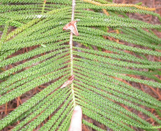 Adult foliage