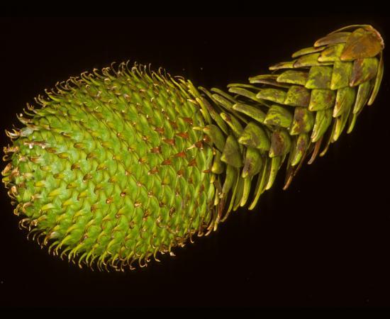 Female seed-cone