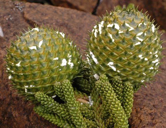 Mature seed-cones, Mt. Humboldt