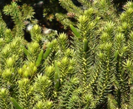 Immature pollen cones