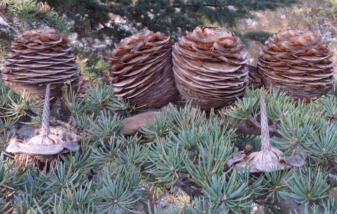 Female seed-cones – Lebanon