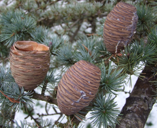 Mature female cones