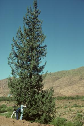 var. atlantica in the Oued n'Fiss Valley, Morocco