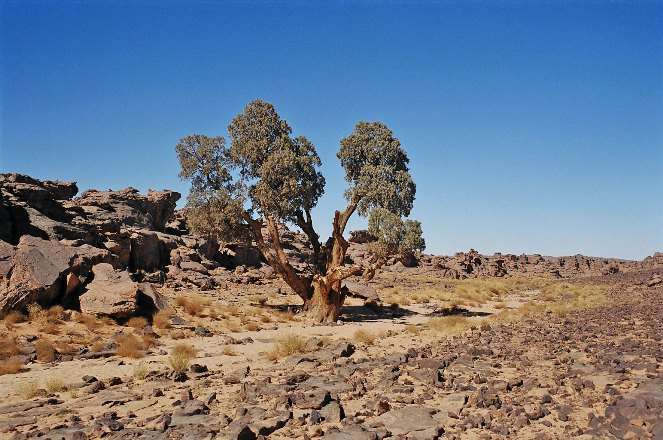 Trees in the Tassili Plateau, Algeria