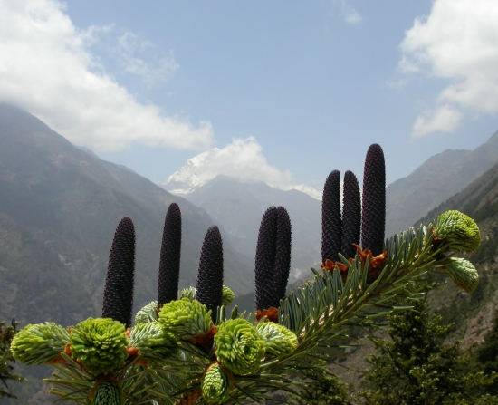Young female cones. Khumbu District, Namche Bazar