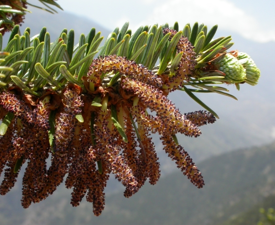 Male cones. Nepal, Khumbu District