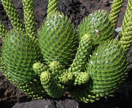 Female seed-cones, Bwa Méyu