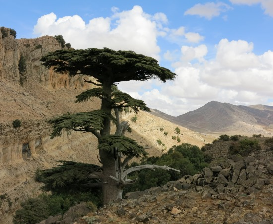 Old-growth trees, Middle Atlas, Morocco
