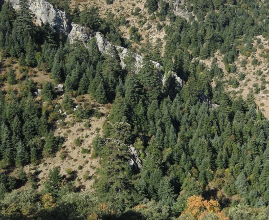 Abies Pinsapo Var Marocana Threatened Conifers Of The World