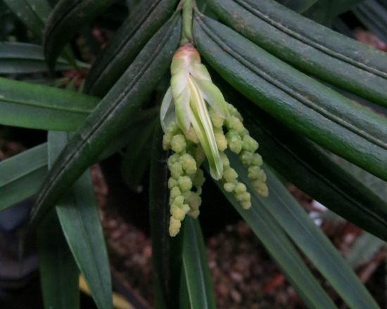Developing male pollen cones
