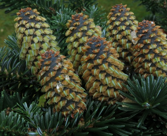 Female seed-cones