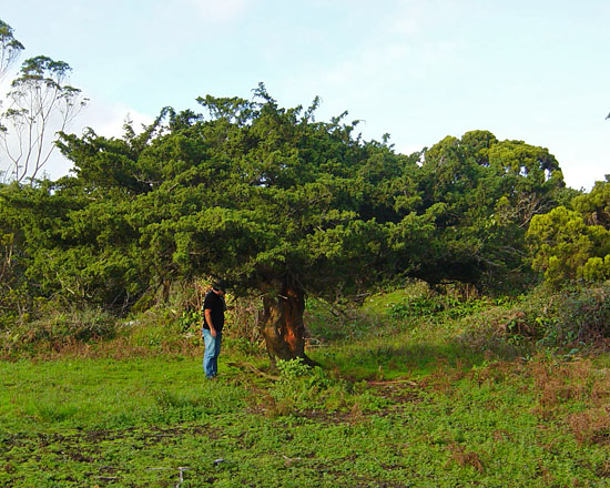 300 year old tree, Terceira Island