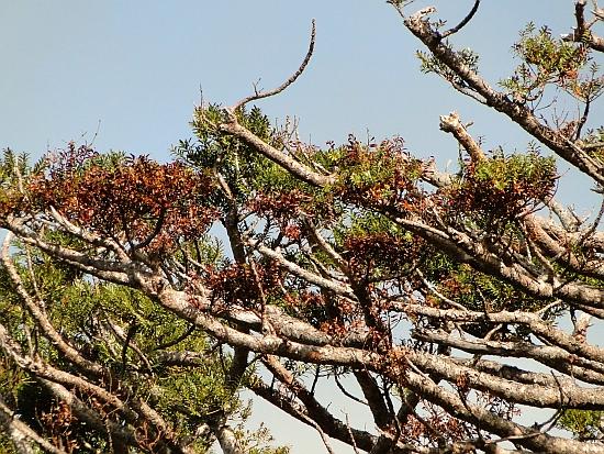 Agathis montana dieback