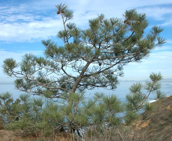 P. torryeana subsp. torreyana