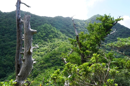 Dead trunks and crowns, Yakushima