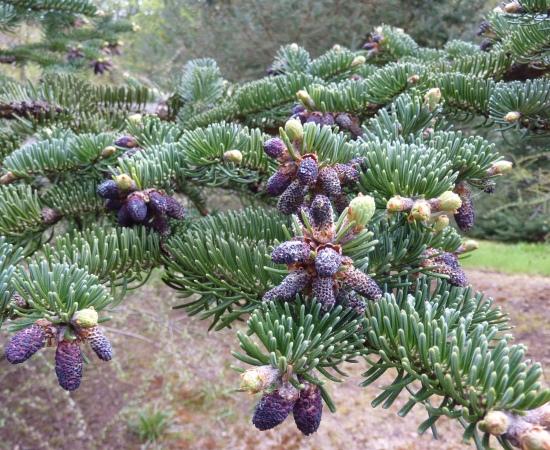 Male cones - Dawyck Botanic Garden