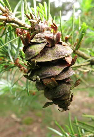 Mature female cone. Bedgebury Pinetum