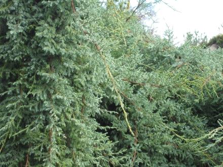 J. pingii var. wilsonii foliage (cultivated)