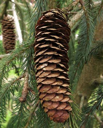 Mature female cone, Bedgebury Pinetum