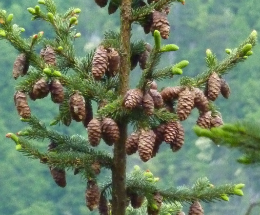 Female cones (March)