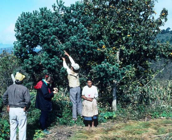 Local people collecting the edible seeds
