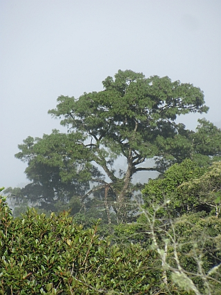 Pinus cernua, Xuan Nha
