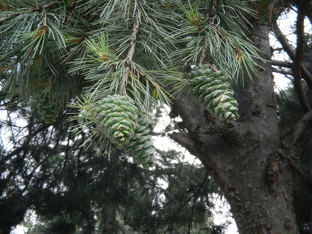 Immature cones, Kinnaur, Himachal Pradesh
