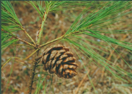 Pinus squamata cone