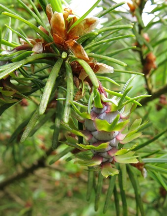 Developing female cones. Bedgebury Pinetum