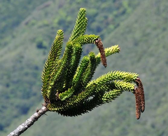 Males pollen-cones; Mt Koghis
