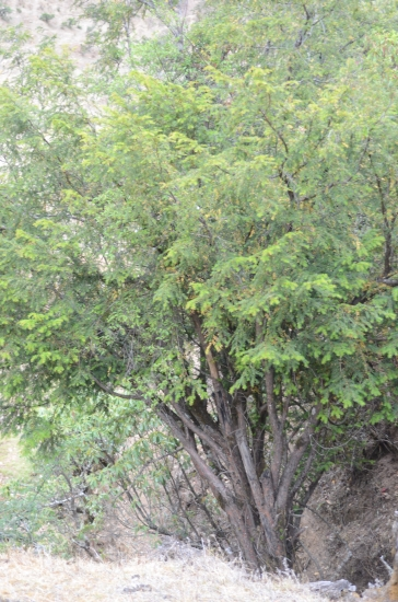 Multi-stemmed tree, Yulongshan, Yunnan