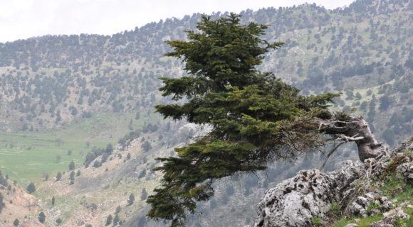 <p>A gnarled specimen of <em>Abies cilicica</em> on Mt Lebanon</p>