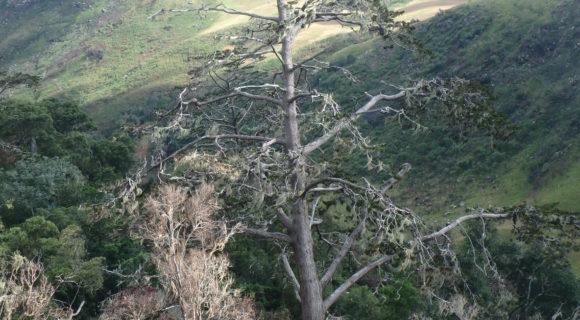 <p>Isolated tree of the Mulanje Cedar</p>