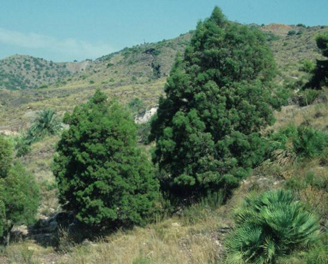 Trees with Chamaerops humilis - Spain