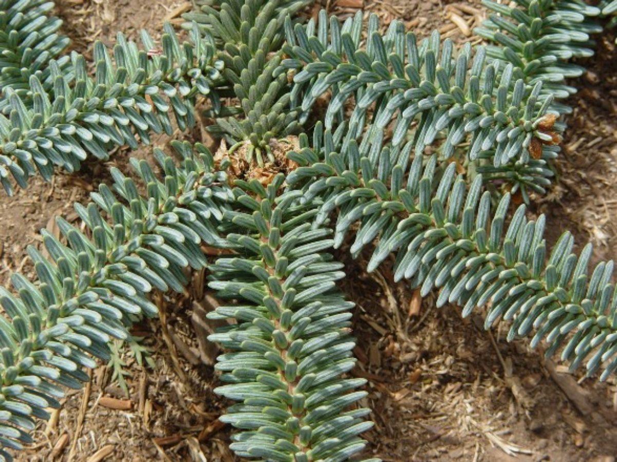 A. pinsapo var marocana