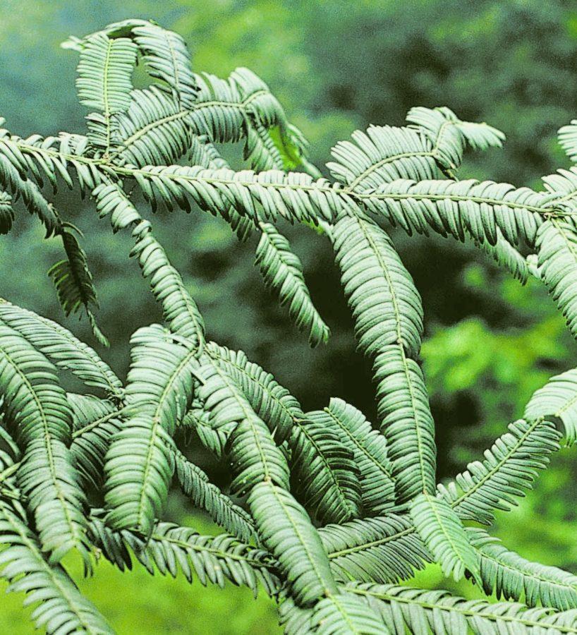 China: Sichuan Province; Emei Shan. Upper foliage surface.