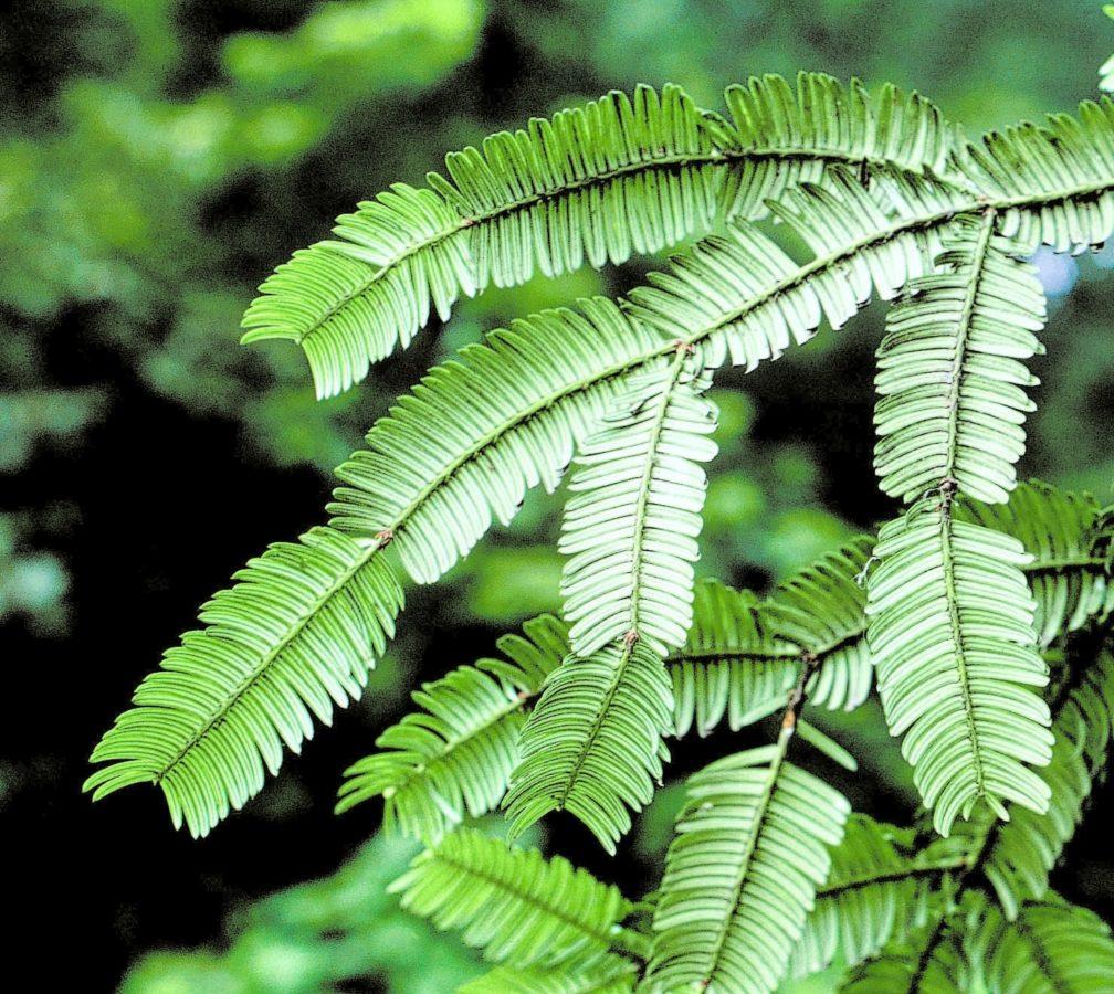 China: Sichuan Province; Emei Shan. Lower foliage surface.