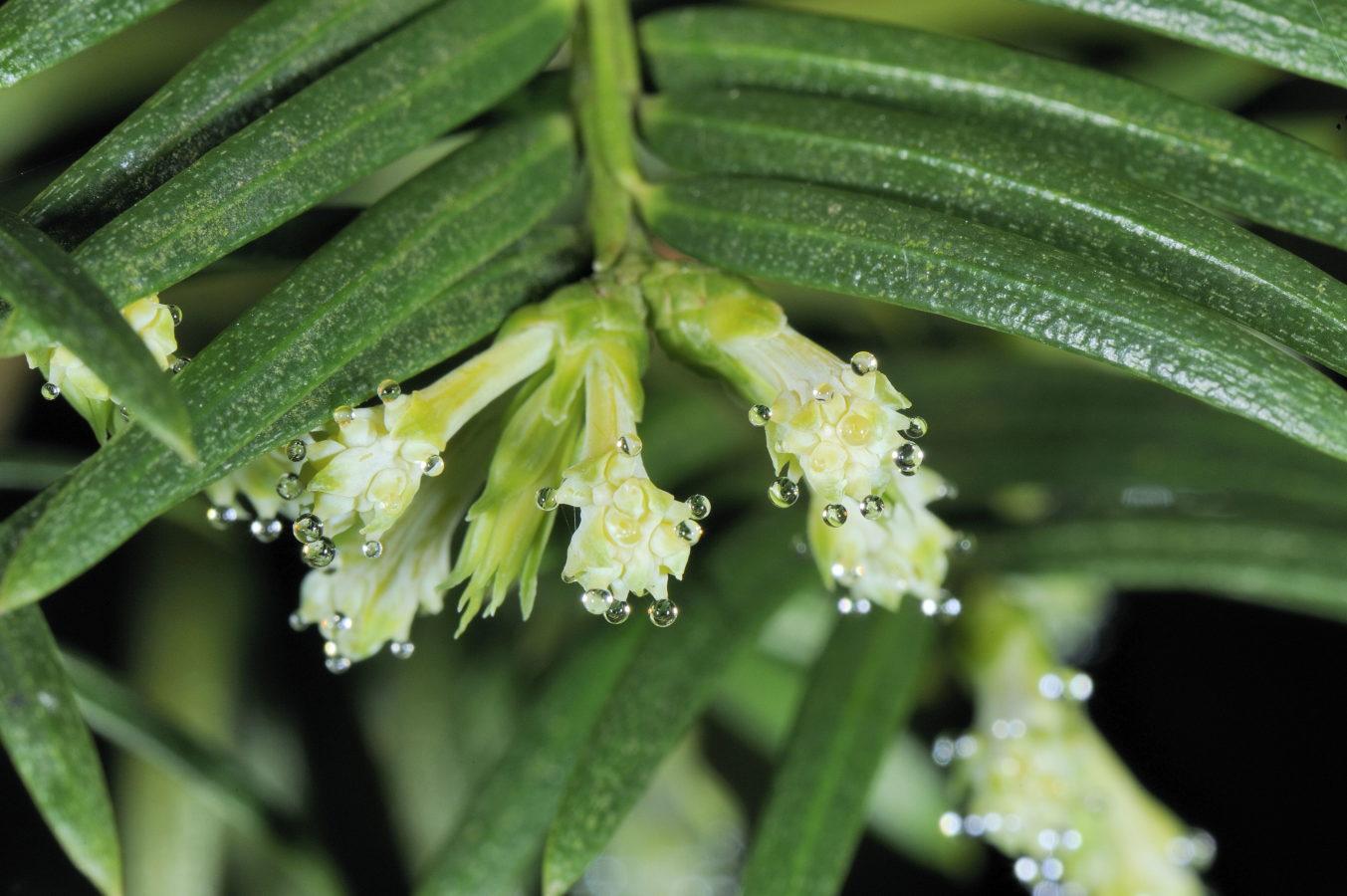Pollination drops on receptive female 'flowers' (Ruiyan, Taiwan)