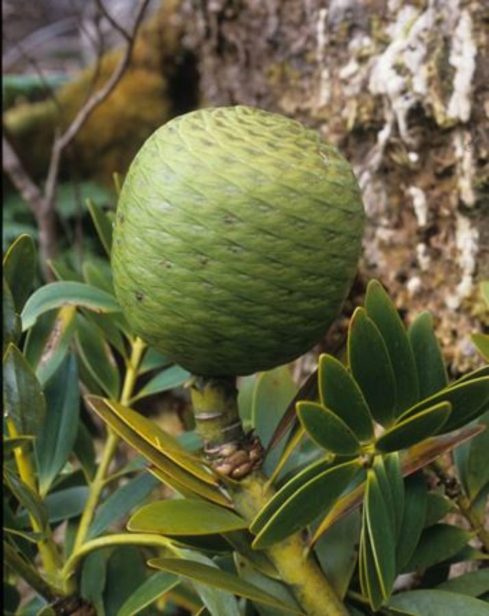 Mature seed-cone