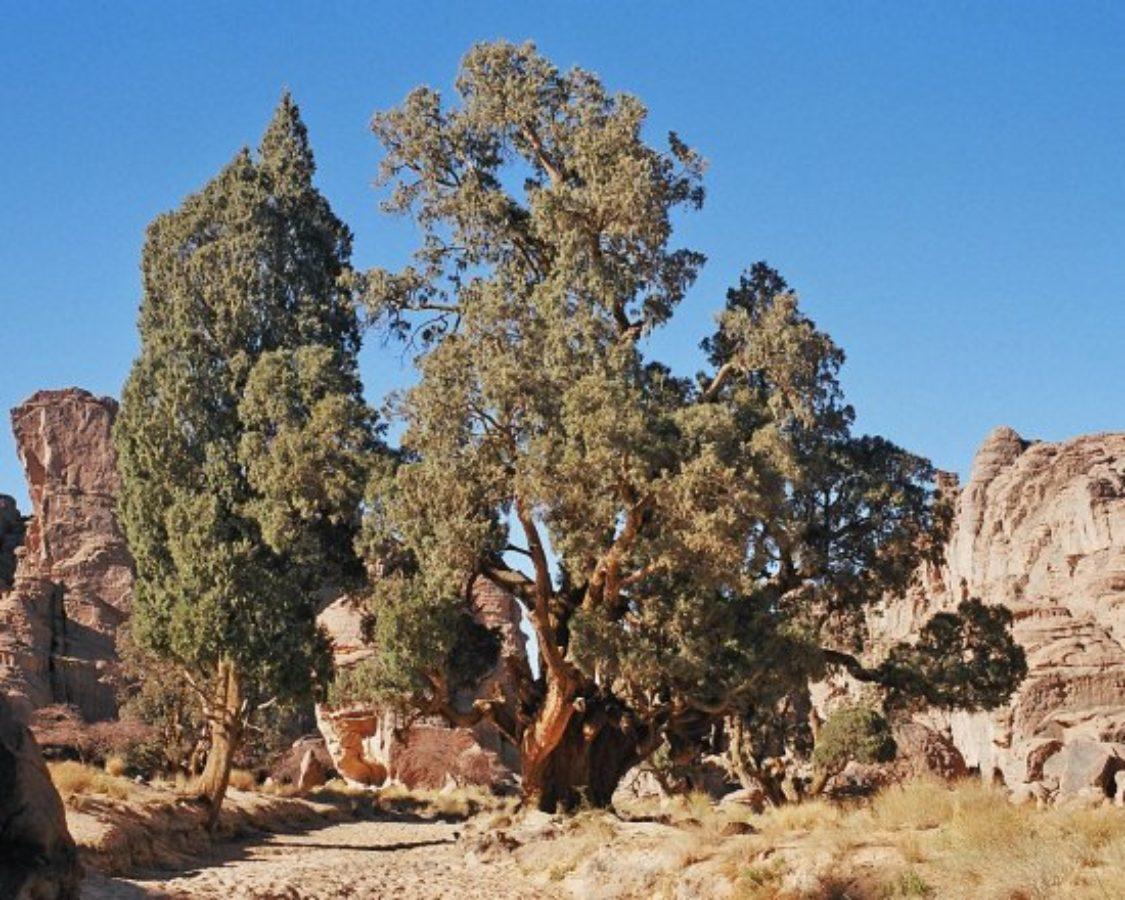 var. dupreziana on the Tassili Plateau, Algeria