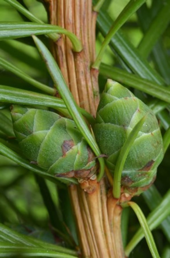 Immature female cones; Bedgebury Pinetum