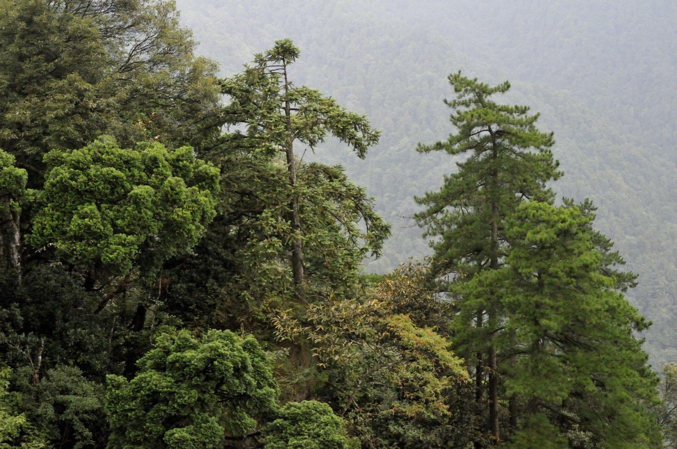 Bijia Shan, Jiangxi (with Cunninghamia lanceolata & Pinus hwangshanensis)