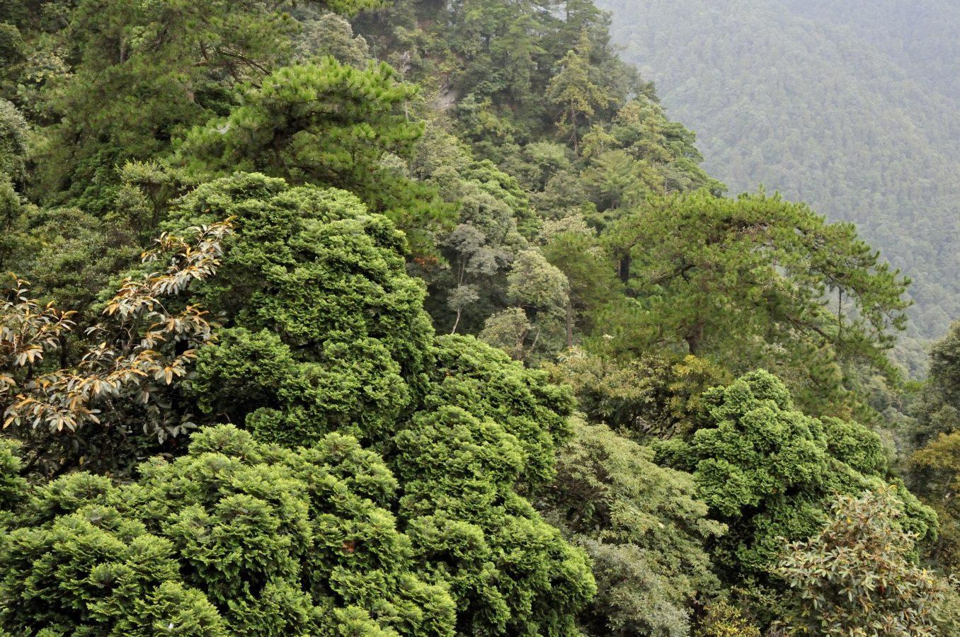 Bijia Shan, Jiangxi (with Pinus Hwangshanensis)